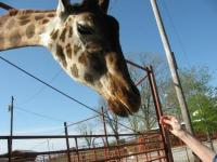 Feed the animals at Tennessee Safari Park