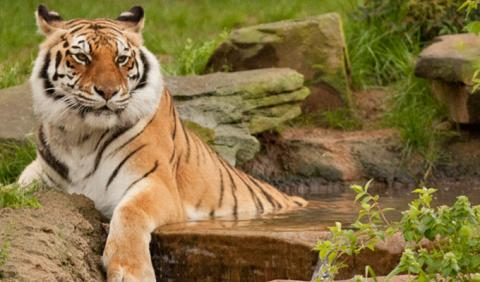Large Tiger at the Nashville Zoo